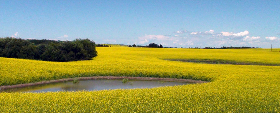 Canola field in Saskatchewan Canada
